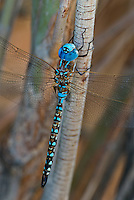 339360071 a wild male blue-eyed darner rhionaeschna multicolor perches on a plant branch along jean blanc canal near bishop califorina