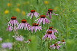 purple coneflower 2 echinacea