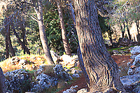 A grove of pine trees in the Valley of the Cross in Jerusalem.