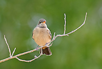 571030005 a wild adult say's phoebe sayornis saya perches on a dead twig in northern los angeles county california united states
