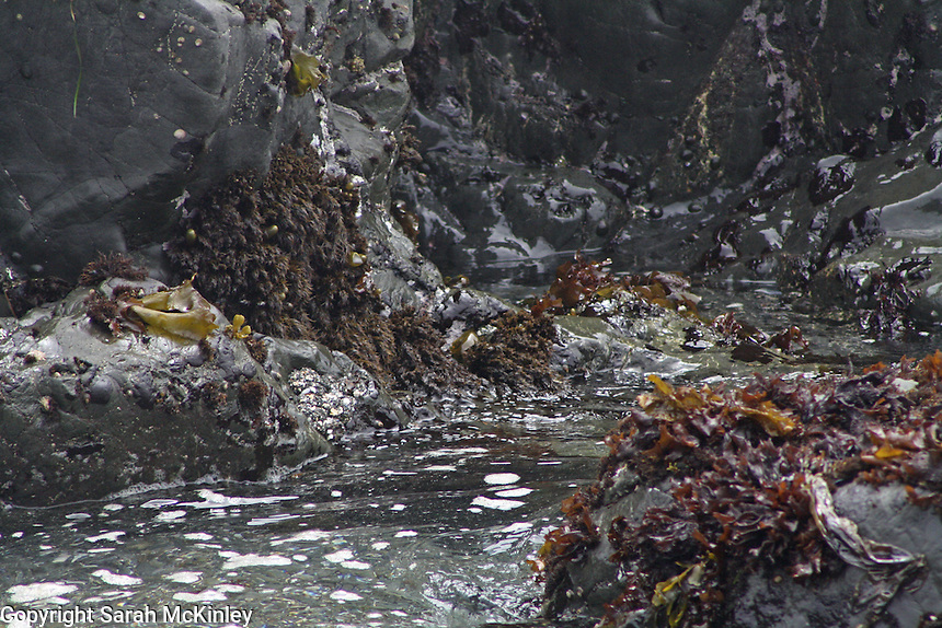 Seaweed on black rocks at a Pacific Ocean tide pool in MacKerricher State Park near Fort Bragg in Mendocino County in Northern California.
