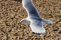 Seagull at the beach,  just having a look around.