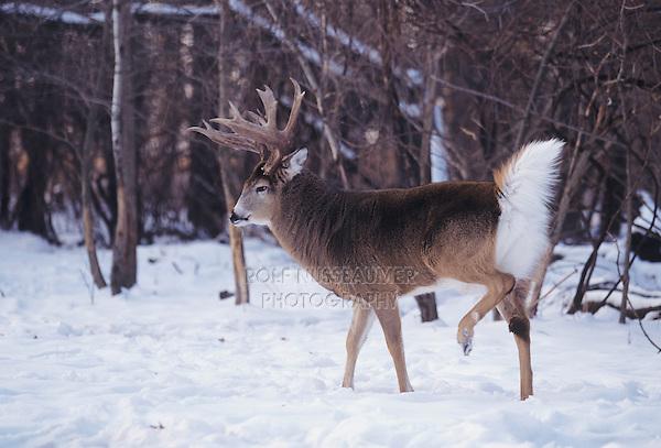 Monster Whitetail Bucks In Snow | www.pixshark.com ...