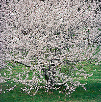 Cherry Blossoms, National Arboretum, Washington DC, USA