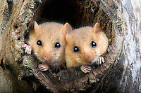Common Dormouse (Muscardinus avellanarius) pair at nest entrance, Normandy, France