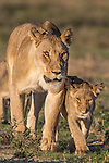 Lioness with cub (Panthera leo) in the Kalahari, Kgalagadi Transfrontier Park, Northern Cape, South Africa, February 2016