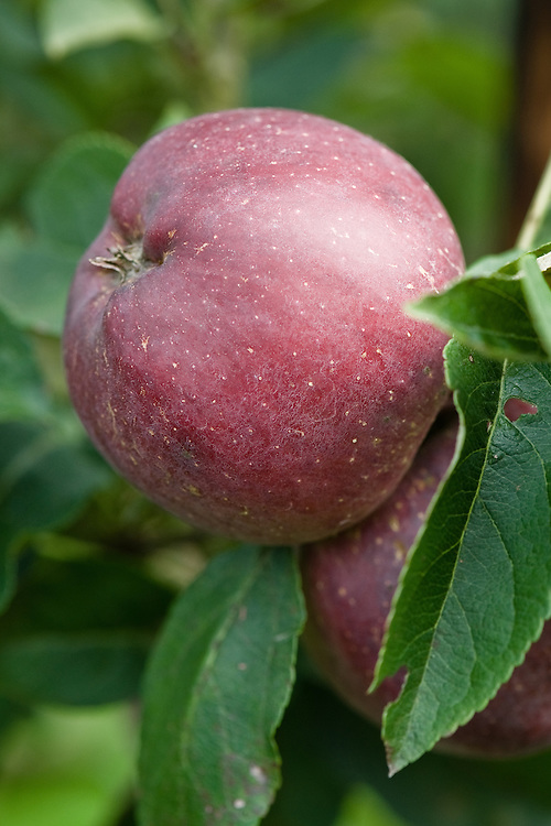 Apple 'Starkrimson Delicious', early September. An American dessert apple discovered in about 1953 in Oregon. It is a more strongly coloured crimson sport of 'Starking'.