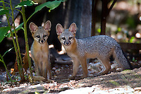 Gray Fox Kits