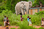 Children running away from elephant, Loxodonta africana, at edge of village, Mole National Park