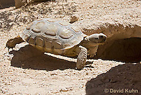 0609-1038  Desert Tortoise Near Entrance to its Burrow (Mojave Desert), Gopherus agassizii  © David Kuhn/Dwight Kuhn Photography