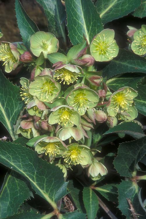 Helleborus x sternii Boughton Beauty hellebore