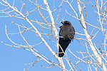 A Black Crow with snow on its beak rests in a leafless tree