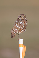 Burrowing Owl (Athene cunicularia) standing on stake marking its burrow