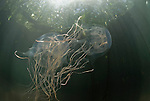 Box jellyfish in mangroves (Chironex sp.)
