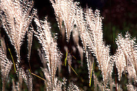 Grasses swaying softly in the late summer breeze at the Morton Arboretum in Lisle, Illinois.