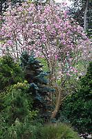 Magnolia sprengeri v. 'Diva', flowering deciduous Claret Cup tree in San Francisco Botanical Garden