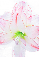 Amaryllis Picotee Hippeastrum backlit, macro closeup of white and pink Christmas winter bulb flower