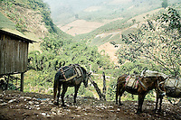 Donkeys stand in the shade by the roadside near a banana collection point in the mountains surround Xinjie, Yunnan Province, China.