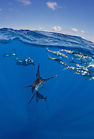 RG41890-D. split view &quot;over under&quot; image of Atlantic Sailfish (Istiophorus albicans) feeding on Spanish sardines (Sardinella aurita), with photographer (model released) in background. Gulf of Mexico, Mexico, Caribbean Sea.<br /> Photo Copyright &copy; Brandon Cole. All rights reserved worldwide.  www.brandoncole.com