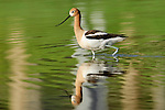 An American Avocet (Recurvirostra americana) wades through a pond in northern Colorado.