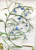 Blue Pea Lathyrus magellanicus - Glass Flowers Exhibit Harvard Museum of Natural History
