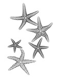 X-ray image of fuzzy sea stars (black on white) by Jim Wehtje, specialist in x-ray art and design images.