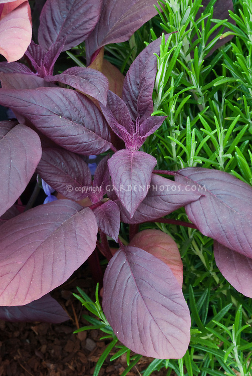 Amaranthus tricolor 'Red Army', red amaranth salad greens