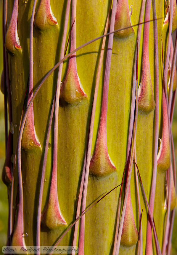Beautiful lines on the bottom portion of the inflorescence of the Agave vilmoriniana.