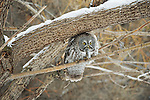 Great gray owl perched on a willow branch eating a freshly caught vole in Jackson Hole, Wyoming.
