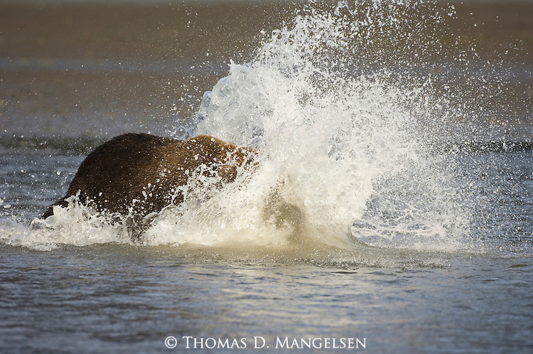 Grizzly bear chasing salmon in creek.