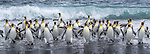 South Georgia Island, Salisbury Plain, king penguins (Aptenodytes patagonicus)