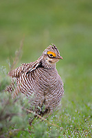 572110179 a wild male  lesser prairie chicken tympanuchus pallidicinctus an endangered species at a lek on a ranch near canadian texas united states