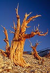 The stark shapes of these bristle-cone pines rising defiantly from the harsh surroundings make a perfect subject, White Mountains, California.
