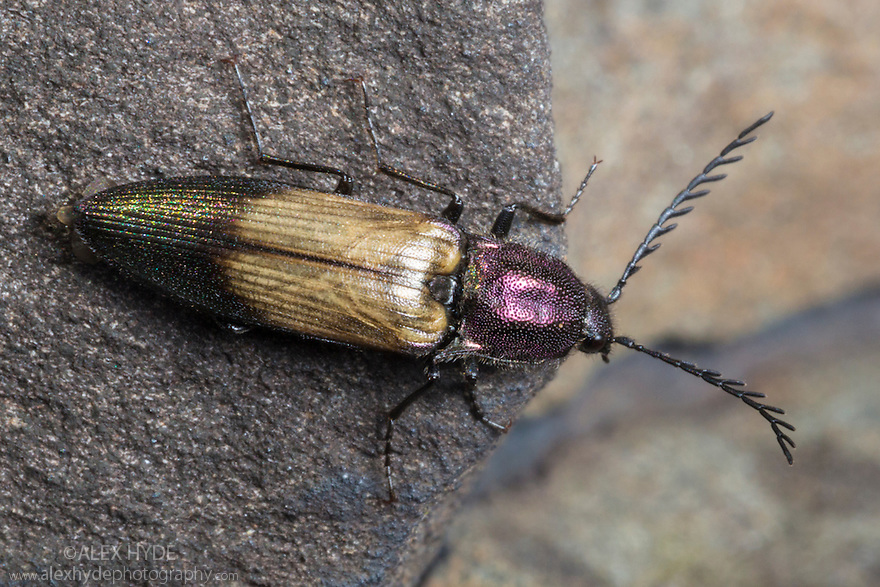 Click Beetle {Ctenicera cuprea}, Isle of Ulva off the Isle of Mull, Scotland, UK. June.