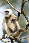 Grey, Common or Hanuman Langur, Semnopitheaus entellus, sitting in tree, Corbett National Park, Uttarakhand, Northern India.India....