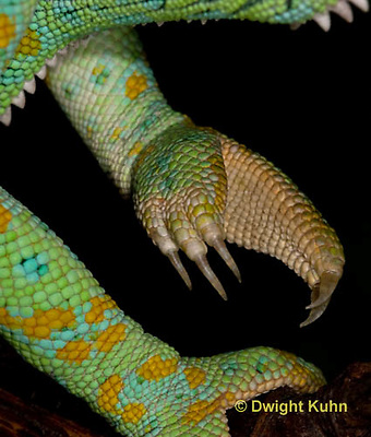 CH41-500z   Veiled Chameleon, close-up of grasping foot and sharp claws, Chamaeleo calyptratus
