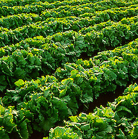 Agriculture - Rows of mature Iceberg lettuce backlit by the sun at sunset / Watsonville, California, USA