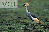 A Crowned Crane ,Balearica rugulorum, Masai Mara Game Reserve, Kenya