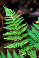 Dryopteris arguta (California Wood Fern) foliage leaf detail