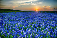This image of what seems to be endless bluebonnets in the Texas Hill Country as the sunset created these glow across the flowers of a nice orange and pinks colors in the sky as the sun went down.    All you can see is a sea of blue landscape with some saltgrass growing along the bountries in Muleshoe Park.