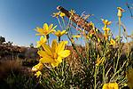 Australian desert wildflowers - Annual Yellowtop (Senecio gregorii)