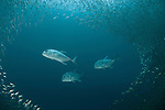 Schooling oxeye scads(Selar boops) chased by patrolling giant trevallies or Jacks (Caranx ignobilis) in the house reef of Miniloc Island Resort.
