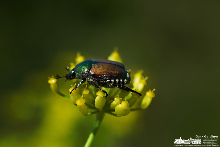 Wild Dill Plant a Japanese Beetle Popillia Japonica Newman Lands on a Wild Dill Plant