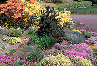 Rock garden in spring, evergreen tree, orange and yellow azaleas Rhododendrons, Dianthus alpine plants in bloom, street, curbside