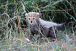 Africa, Kenya, Masai Mara. Cheetah cubs.