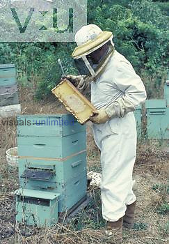 Beekeeper in protective clothing inspecting comb frame from hive.