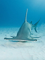 RR2485-Dv. Great Hammerhead Shark (Sphyrna mokarran), uses broad head like a metal detector, sweeping over the sand bottom. Electroreceptive organs on the underside called the ampullae of Lorenzini allow it to detect weak electric fields given off by fish, even those buried under sand. Bahamas, Atlantic Ocean.<br /> Photo Copyright &copy; Brandon Cole. All rights reserved worldwide.  www.brandoncole.com