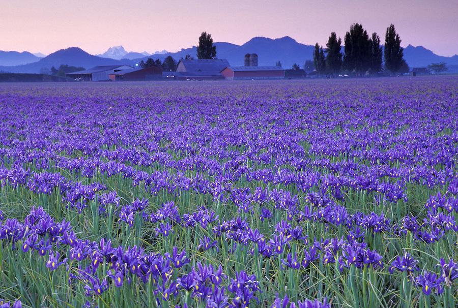 Field of blue iris at sunrise, Mount Vernon, Skagit Valley, Washington