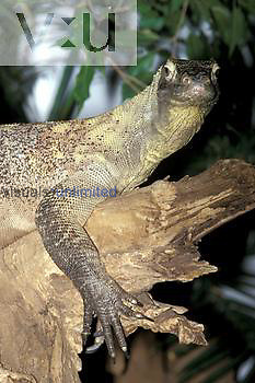 Komodo Dragon ,Varanus komodoensis,