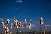 Cattails, a wetlands staple, go to fluff, sending seeds on the breeze at Coyote Hills Regional Park along San Francisco Bay.